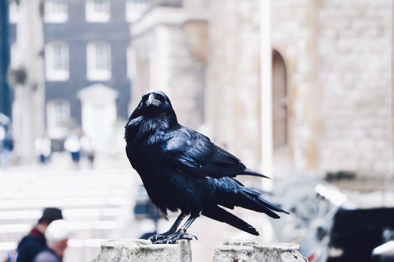 21++ Raven hd ideas in 2021