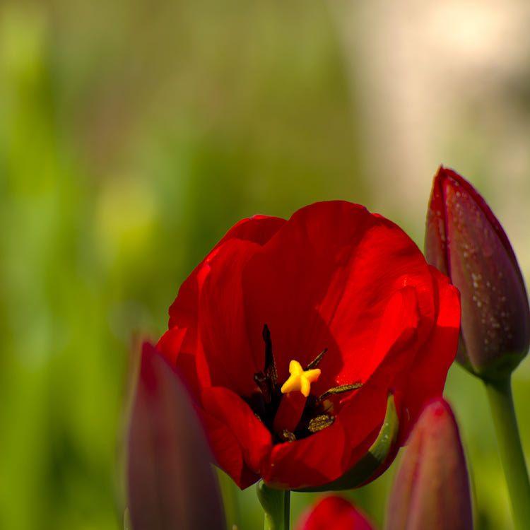 Tulip by Dongyan Liu on 500px