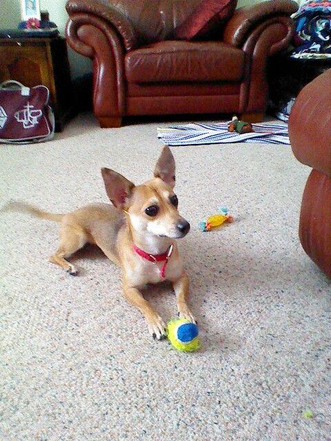 My Chippet Chihuahua Whippet Chihuahua Whippet Doggy