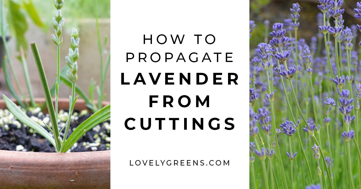 Plants For Free How To Propagate Lavender From Cuttings Lovely Greens How To Propagate Lavender Lavender Plant Growing Lavender