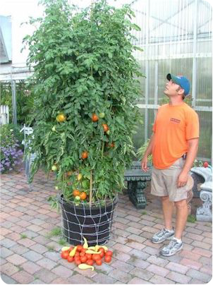 Tomato Garden Ideas best 25 staking tomato plants ideas on pinterest Find This Pin And More On Tomato Gardens