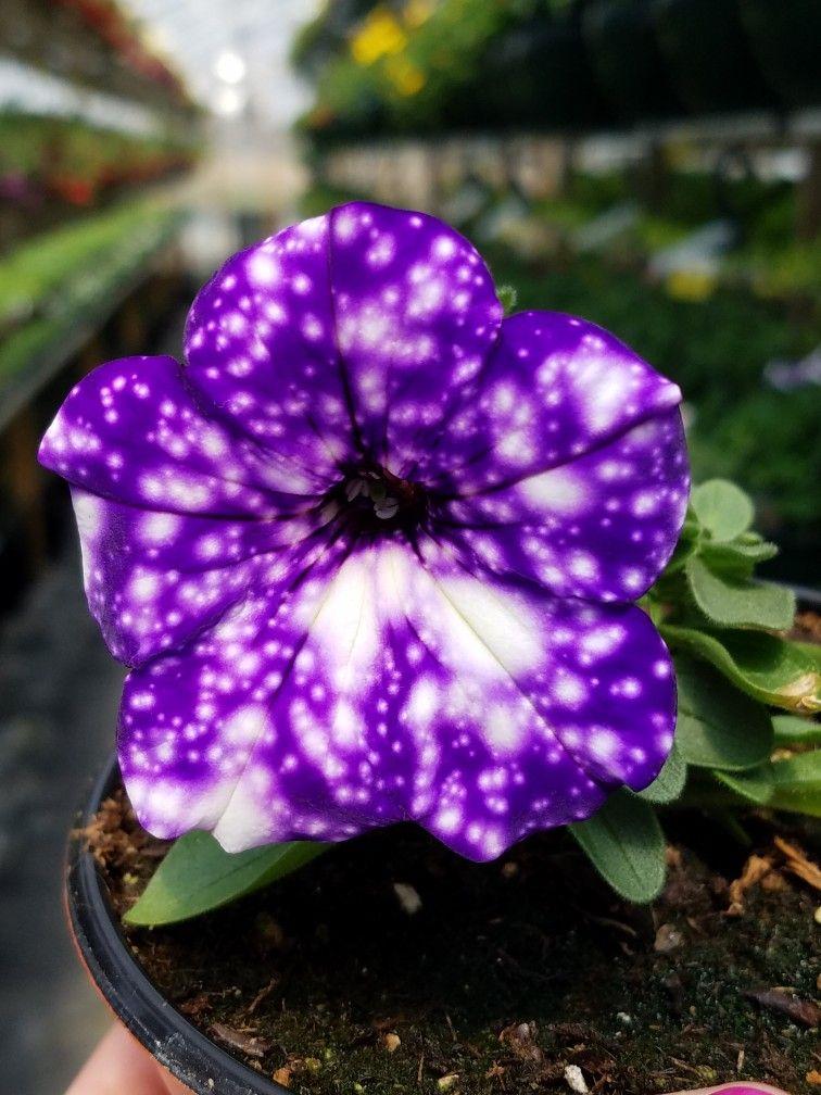 Nightsky Petunia Blueviewgreenhouse Garden Diary Petunias Flowers