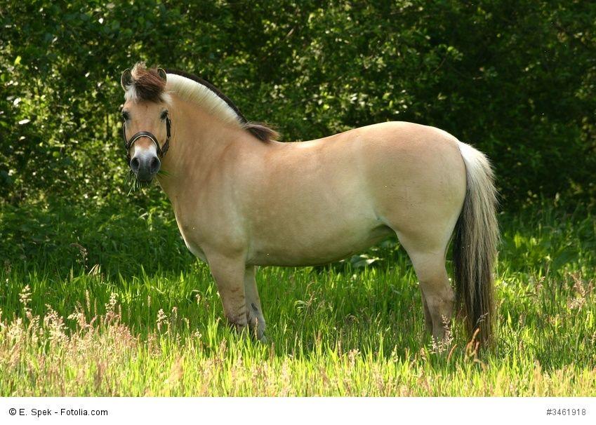 50+ Fiord pony information