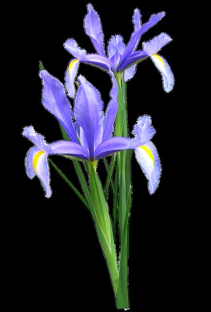 Free Image On Pixabay Iris Dutch Flowers Blue Plant Blue Iris Flowers Iris Flowers Dutch Iris