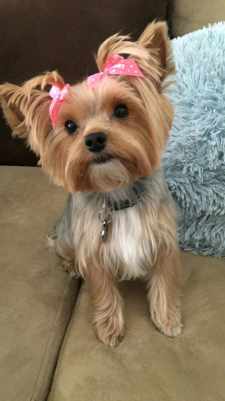 Wild West Yorkies Txyorkie Com Yorkie Puppies For Sale In Texas Past Puppies Black And Gold Yorkies Parti Yor Yorkie Puppy For Sale Yorkie Puppy Cute Dogs