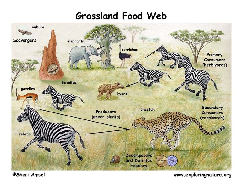 Learn about Food Webs and African Grasslands from