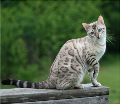 best 30 pictures of bengal cats and kittens in 2020