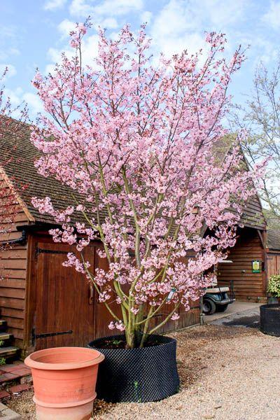 Prunus Sargentii Rancho Sargent S Cherry Tree Shrub Minimalist Garden Cottage Garden Back Garden Design