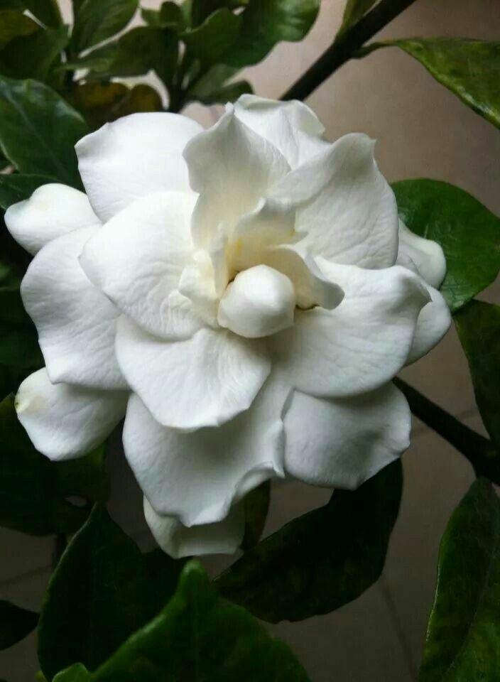 Hermosa Gardenea blanca. Muy aromática.