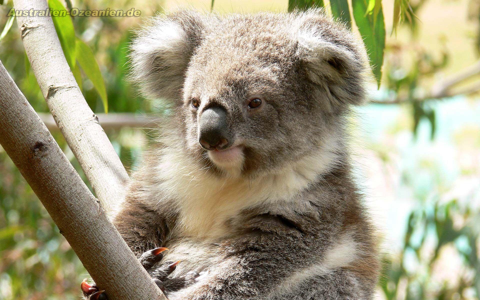 Koala Wallpaper Koala Australia Animals Koala Bear
