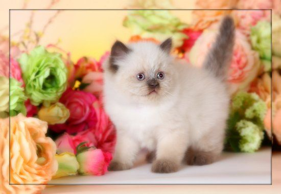 Himalayan Kittens For Sale Persian Cat Himalayan Kitten Himalayan Kittens For Sale