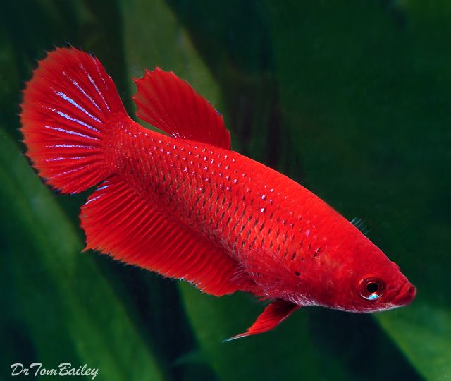 A bright Red Female Betta Fish. To see more click on ... www.AquariumFish.net/catalog_pages/bettas/betta_females.htm#4960