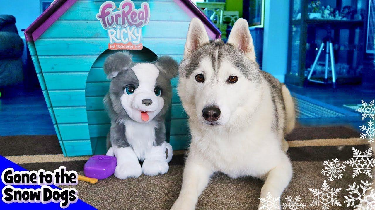 Real Husky Vs Fur Real Husky Husky Reacts Husky Husky Husky