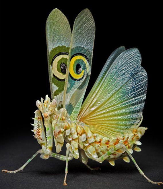 A flower praying mantis
