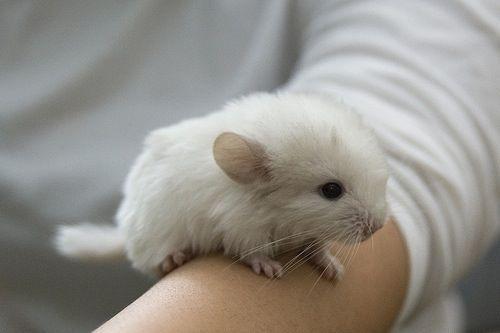 White Chinchilla Baby Cute Baby Animals Cute Animals