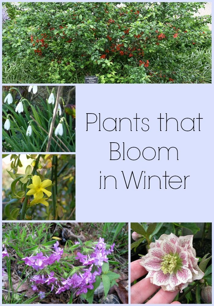 Winter gardening can be beautiful! Here are a few plants that bloom in winter!