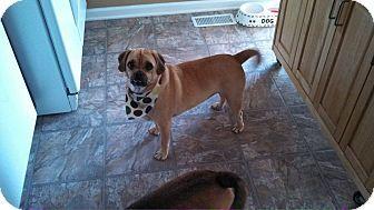 Colorado Springs Co Pug Beagle Mix Meet Duke A Dog For Adoption Pug Beagle Mix Pug Beagle Pugs For Adoption