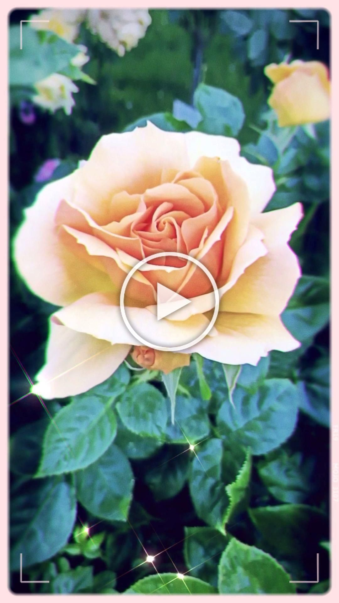 This Video Was Created By Amirasartistry In Vienna Rose Flower Nature Gorgeous In 2020 Beautiful Flowers Wallpapers Most Beautiful Flowers Fall Flowers Garden