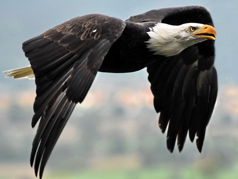 Fondos de escritorio un águila volando Animal Imágenes . | Animals ...