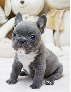 Sustom Pet Tote Bag French Bulldog Puppies Cute French Bulldog