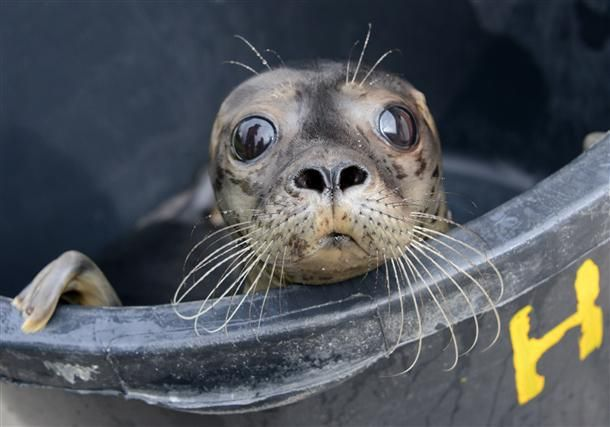 """Young seal """"Fips"""" looks out of a tub at the seal nursery in Friedrichskoog, northern Germany, on July 29, 2012. The animal was found at a shipyard in Hamburg at the beginning of July and was brought to the nursery in Friedrichskoog :)"""