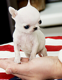 Teacup Puppy Love Teacup Puppies Puppies Cute Bulldogs