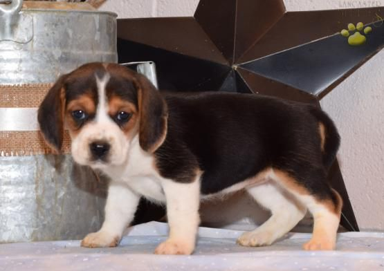 Rajah Beagle Puppy For Sale In Sugarcreek Oh Lancaster