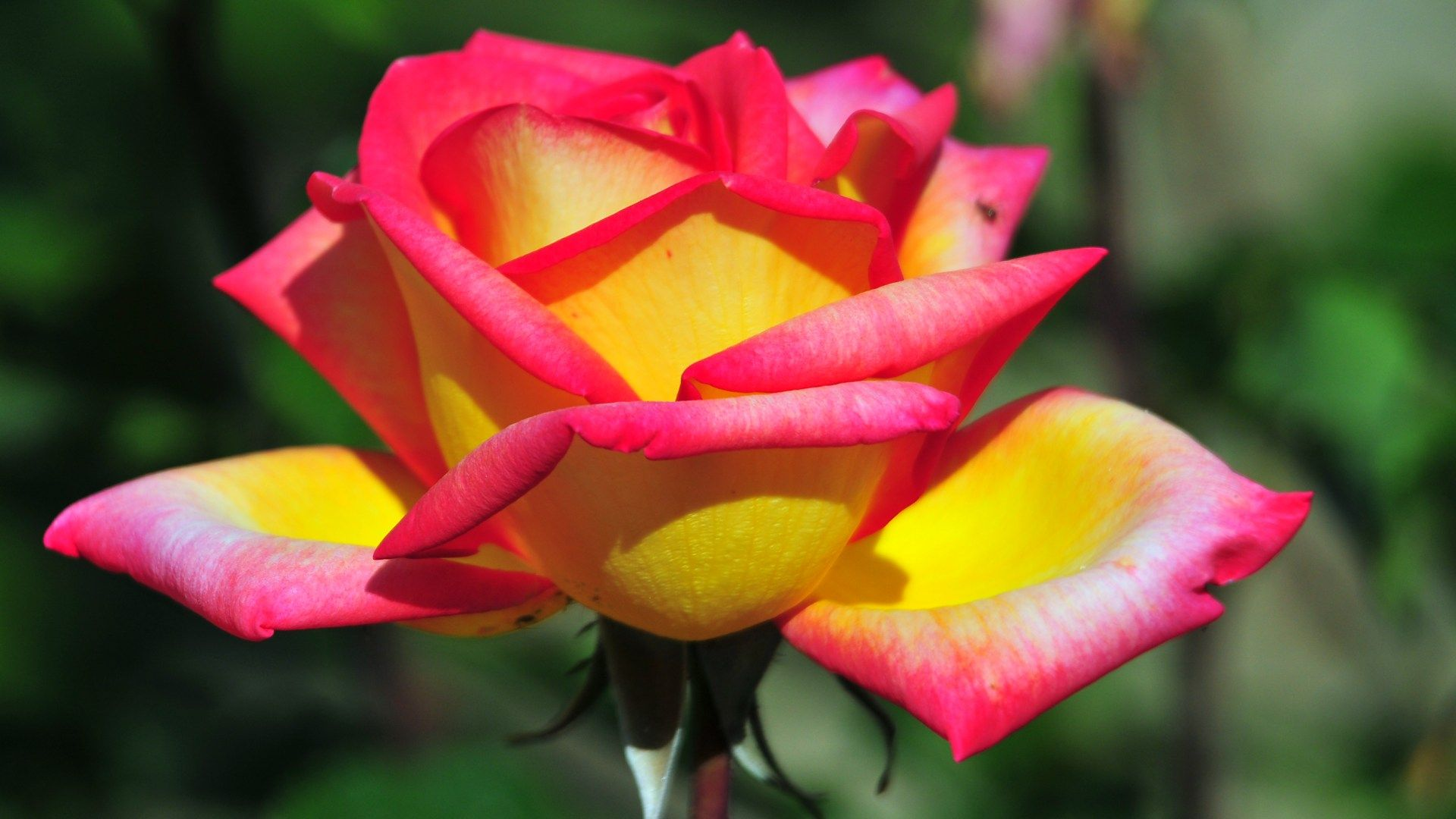 Wallpaper 275972 Beautiful Rose Flowers Rose Seeds Yellow Rose Flower
