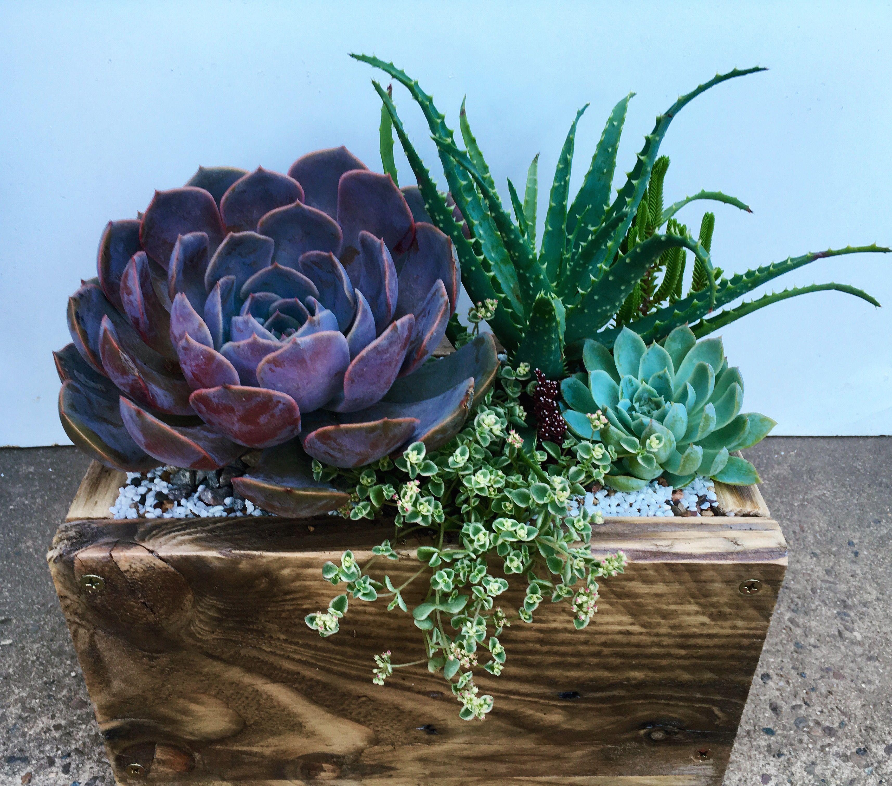 Succulent arrangement echeveria aloe spinossima sedum acre