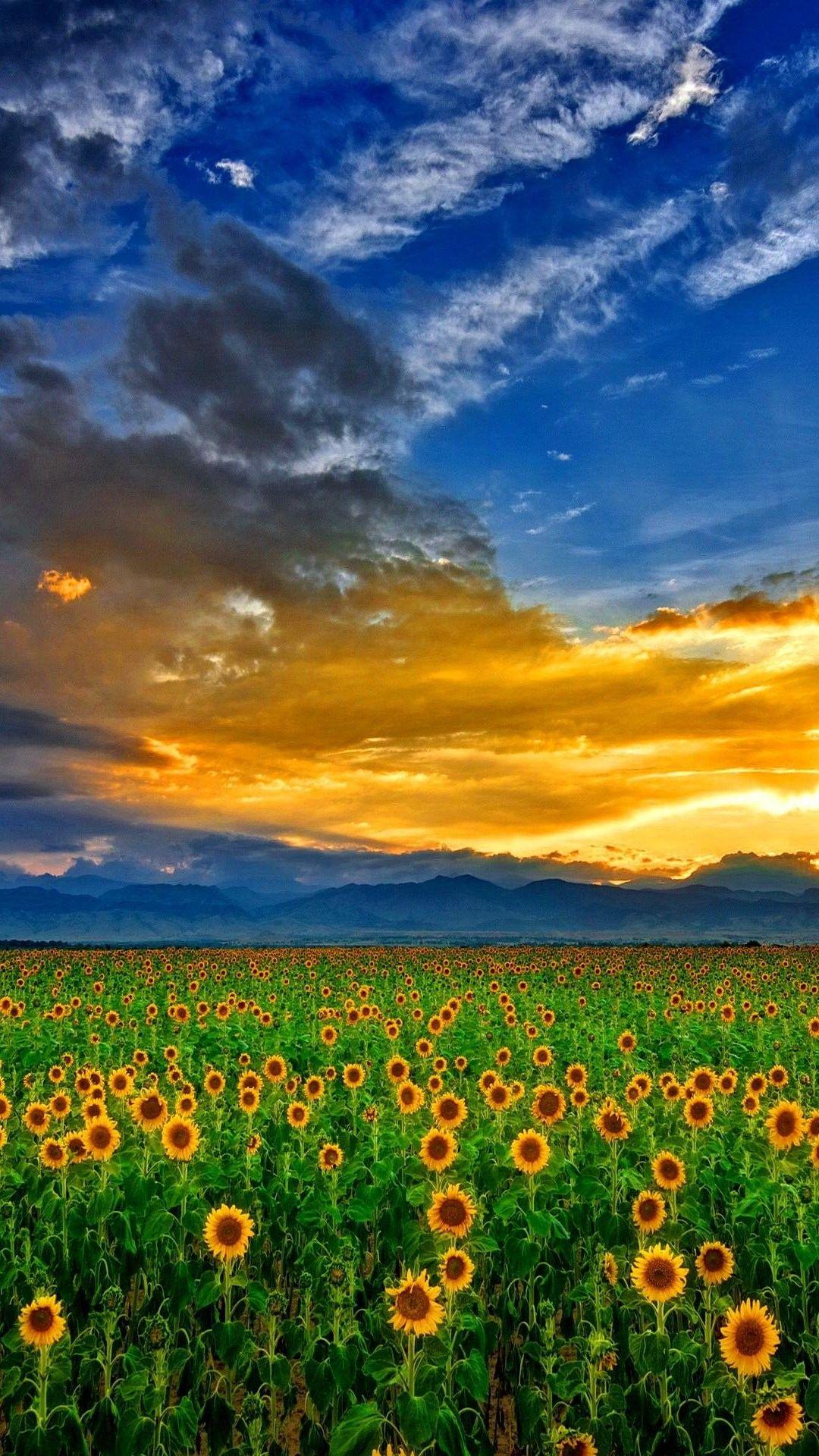 Sunflower Field at Sunset Field wallpaper, Sunflower