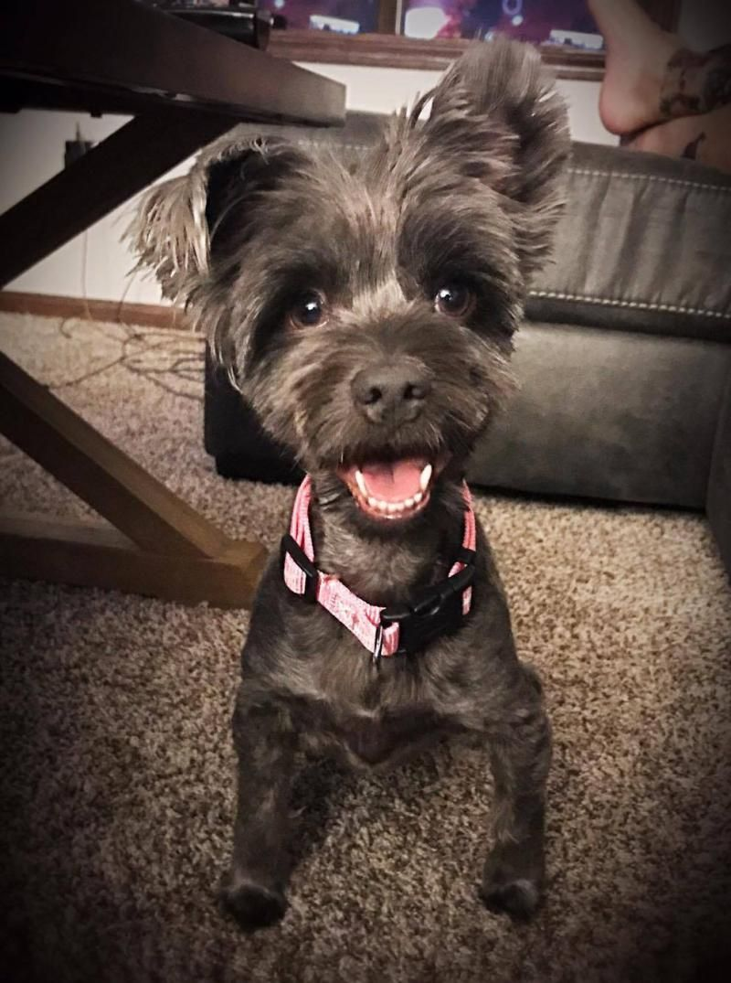 Adopt Angel on Poodle, Pets, Schnauzer mix