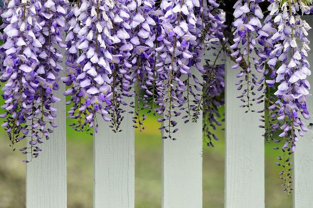 Must Try Perfumes With Wisteria Wisteria Pergola Best Potted Plants Pergola Canopy