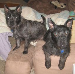 Adopt Lewis And Clark On Terrier Mix Dogs Terrier Dogs Cairn