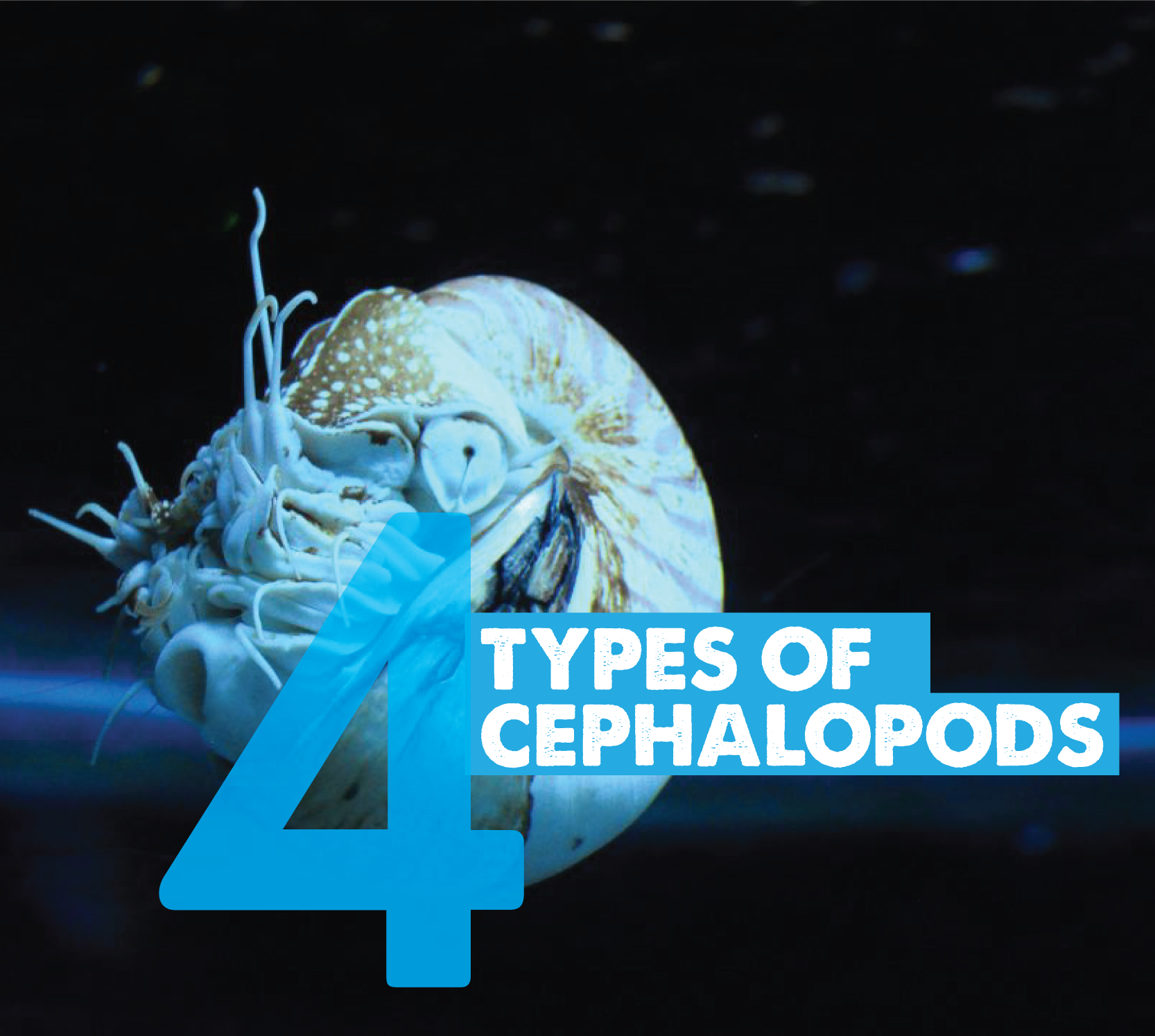 Get to Know The Four Types of Cephalopods Birch aquarium