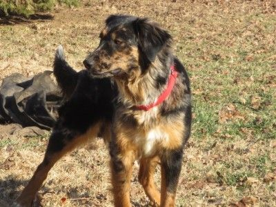 1 Year Old Blue Merle Female Australian Shepherd Mix In Illinois