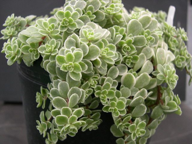 Makinoi variegatum Sedum: very low, lower than 3cm when planted in pots is hanging cascading, rounded green leaves with white variegation on the edges, little yellow summer flowers showy, not frost resistant, originating in Japan (already missed the hand with her to crawl and takes its roots are fragile and delicate when planting should ensure cover the roots with the substrate).