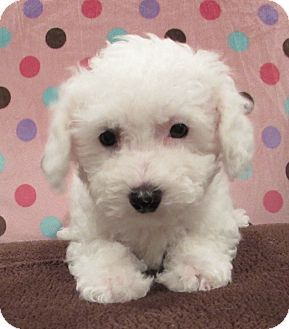 Barneveld Wi Bichon Frise Meet Francesca A Puppy For Adoption