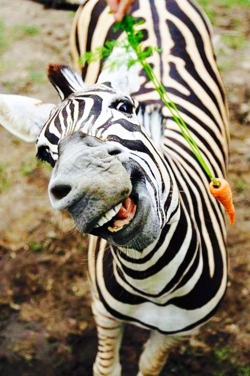 Funny zebra and a carrot!