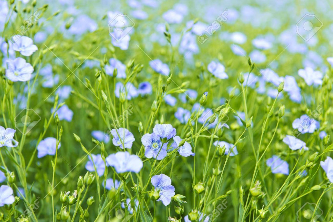 Image Result For Flax Flower Field Cultivo De Hortalicas Plantas Tipos De La