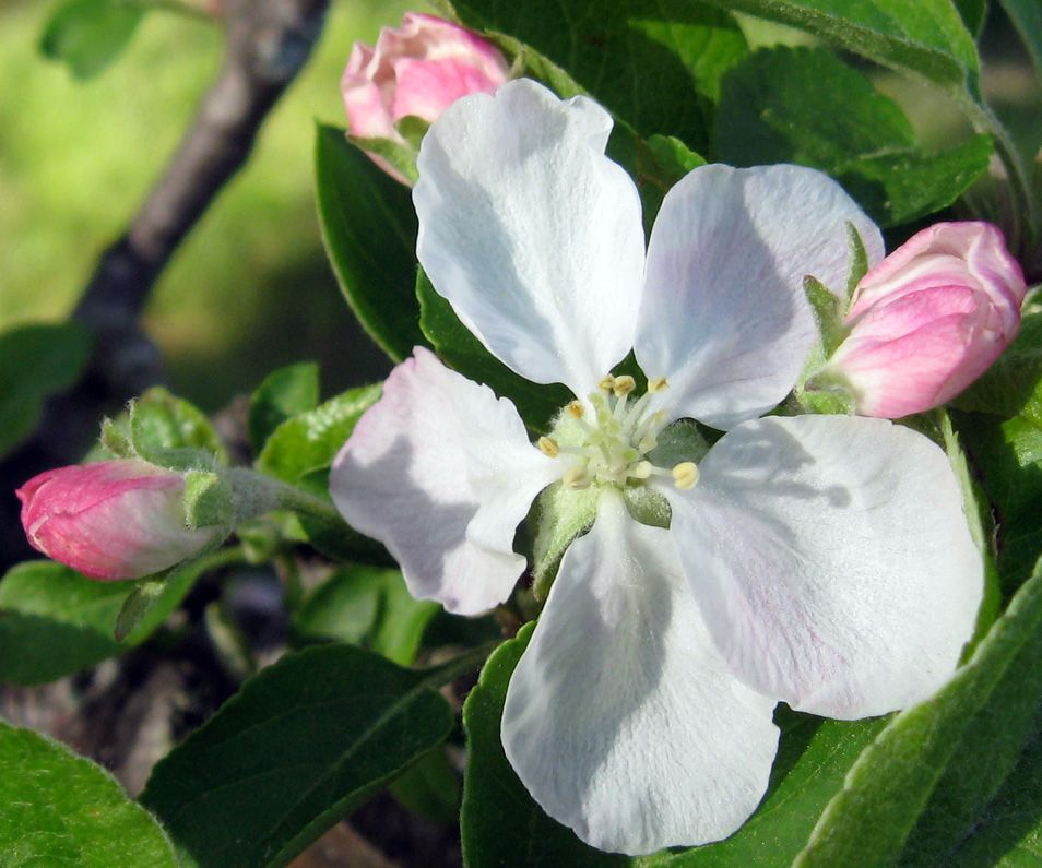 apple blossom in my back yard