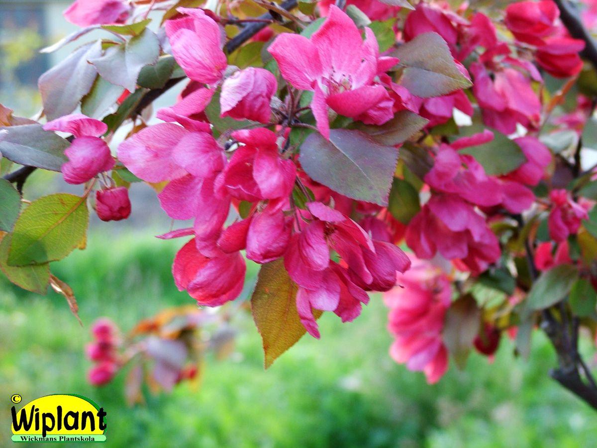 Malus 'Eleyi', prydnadsäppel. Mörkrosa blommor, rödgröna blad. Brett växtsätt. Höjd: 3-4 m.