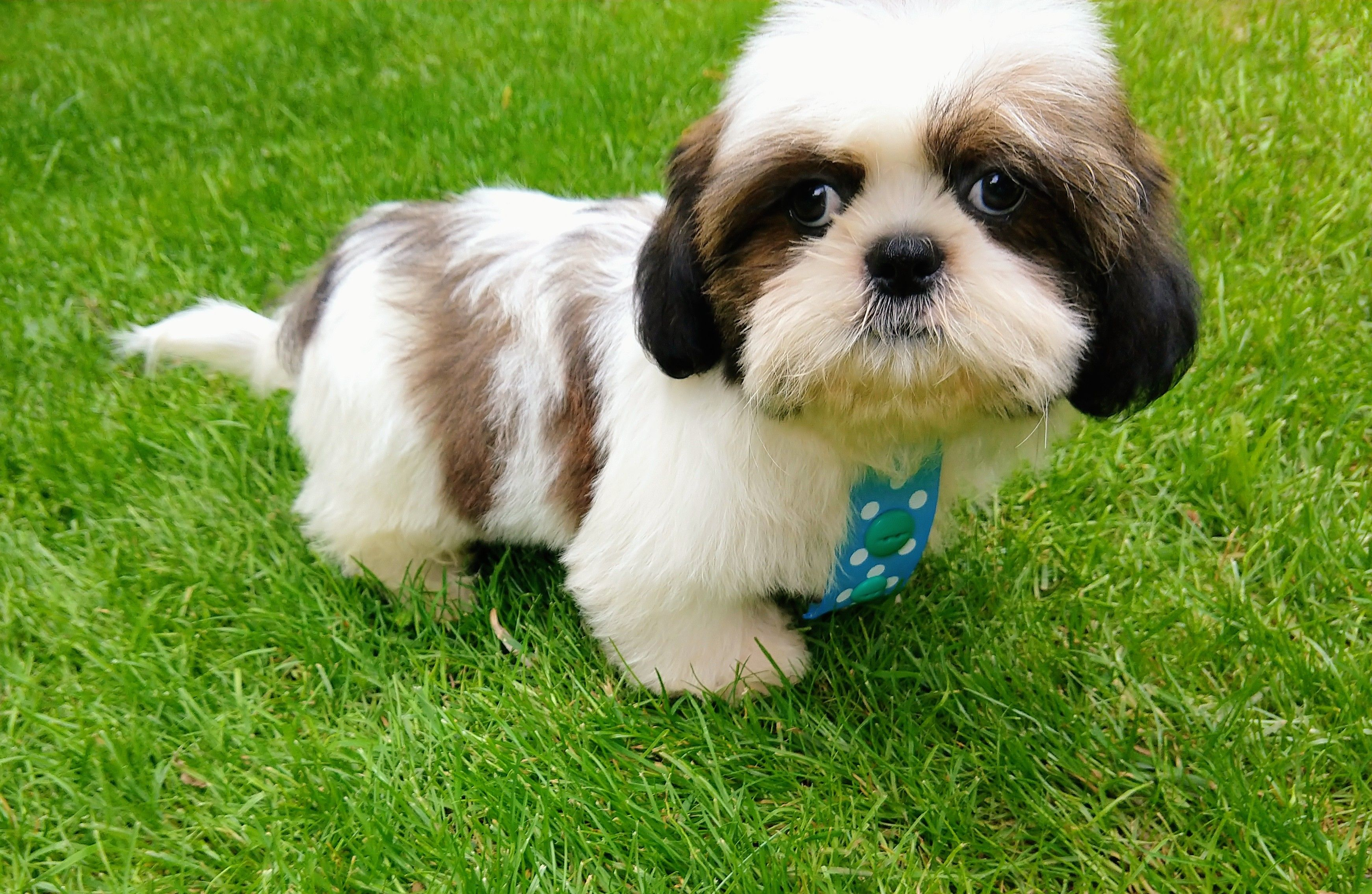 Adorable Shih Tzu Boy In Shelton Ct Shih Tzu Puppy Shih Tzu Puppies For Sale