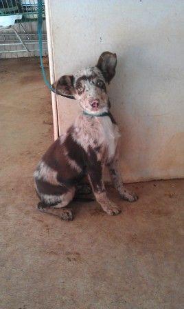 Australian Koolie Dog Photo Koolie Female Pup Griffith Nsw