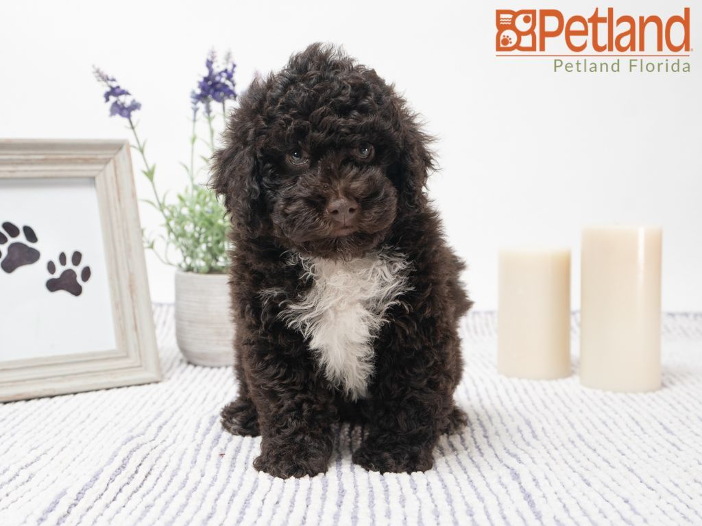 Petland Florida Has Poodle Puppies For Sale Check Out All Our