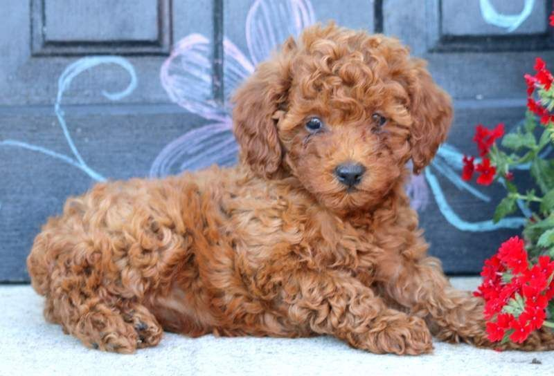 Butterfly keystone puppies puppies for sale health
