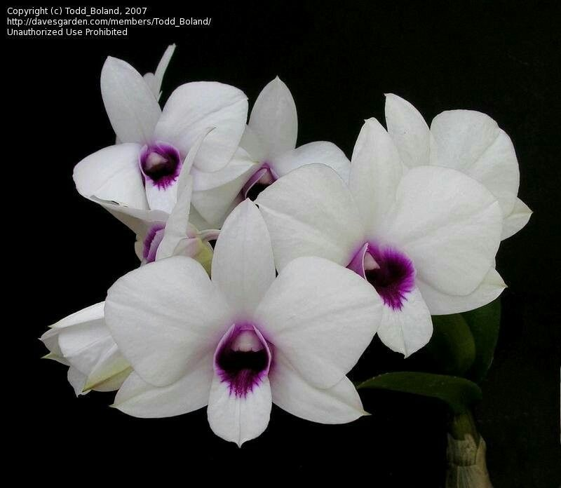 Dendrobium Bigibbum Orchids Orchid Care Australian Native Flowers
