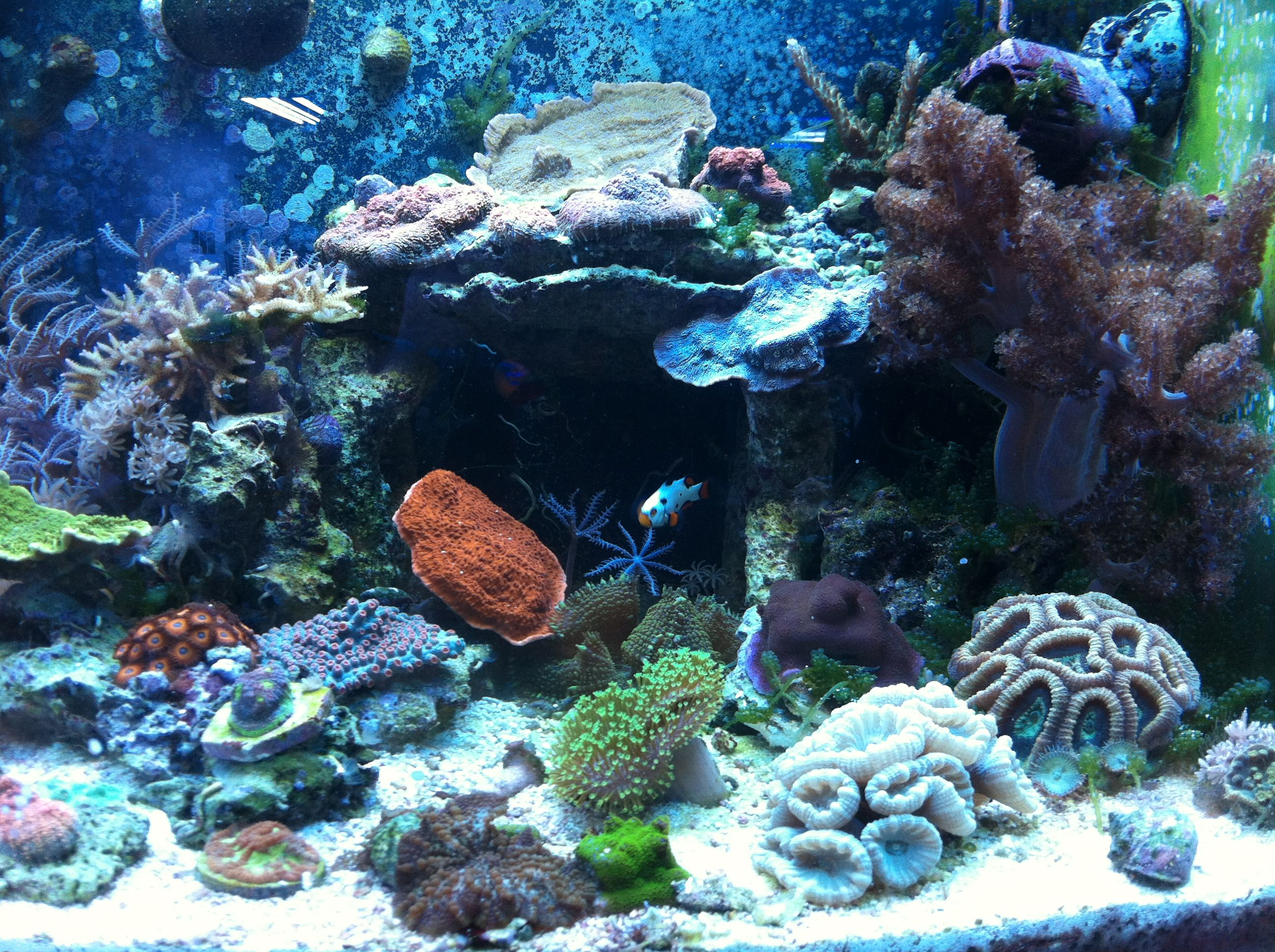Live coral in reef tank reefing pinterest live coral for Live saltwater fish