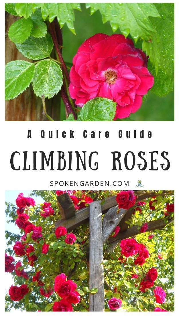 Roses: A Quick Care Guide - DIY Garden Minute Ep. 57 Climbing roses are a beautiful addition to your cottage garden. Listen to this podcast to learn the basics about climbing roses, climbing rose care, and more in Spoken Garden's DIY Garden Minute Ep. 57.Climbing roses are a beautiful addition to your cottage garden. Listen ...
