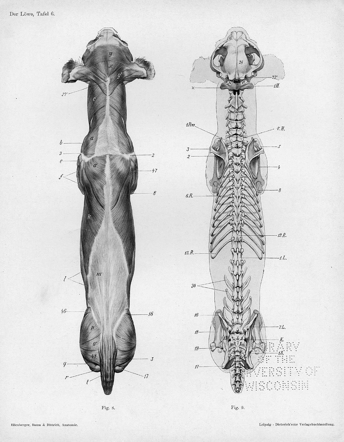 These are dorsal views of the musculoskeletal system of the whole ...