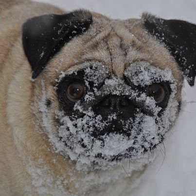 Pug Snow Face Mask This Pug Has Bad Eyes So And This Is Exactly